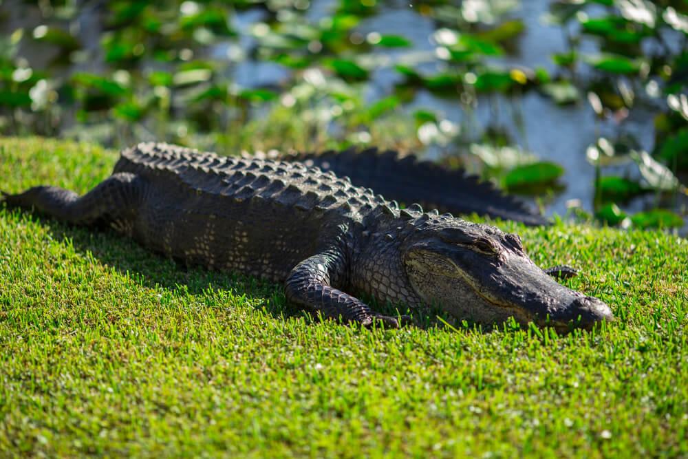 everglades park alligator